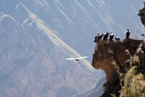 Kondory z kanionu Colca