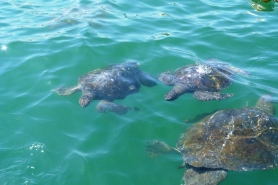Żółwie, El Nuro
