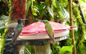 Mindo_Ekwador_kolibry1