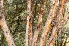 Chimborazo Bosque de Polylepis (4)