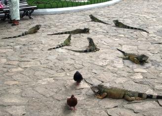 Guayaquil iguany (4)