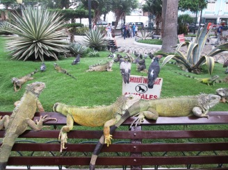 Guayaquil iguany (7)
