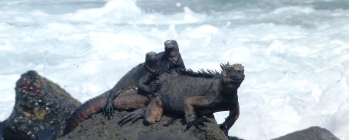 galapagos-isla-isabela-iguany2