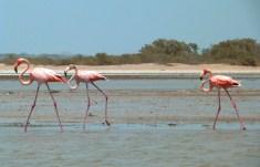 Flamingi z Camarones