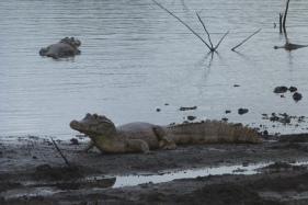 kajman-pantanal