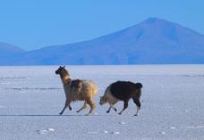 Alpaki z Boliwii