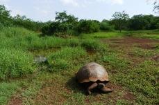 Żółwie Galapagos 2 (2)