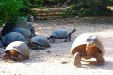 Żółwie Galapagos 6 (2)