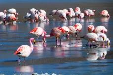Flamingi z Boliwii