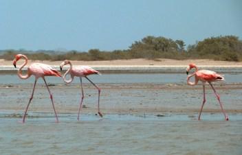 Flamingi z Kolumbii...