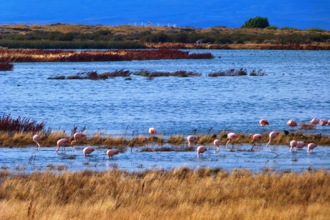 Flamingi z Patagonii