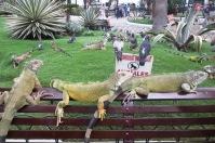 Iguany z Guyaquil