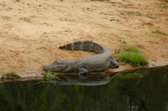 Kajmany z Pantanalu