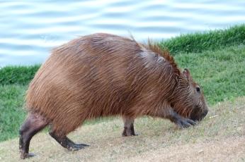...i kapibara z Belo Horizonte