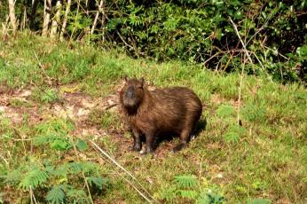 Kapibara z Pantanalu...