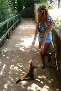 Koati z Iguaçu