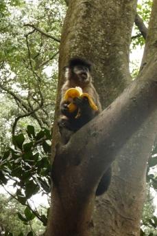 Małpka Sao Paulo