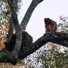 Małpy z Pantanalu