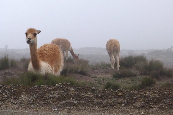 Wikunie w Ekwadorze