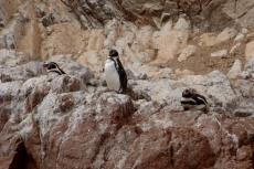 Pingwiny z Peru