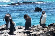 Galapagos, Isabela, pingwiny