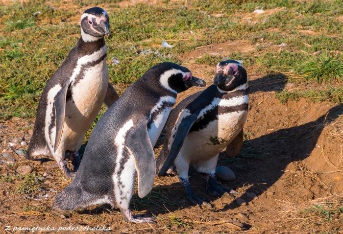 Chile Isla Magdalena pingwiny 2