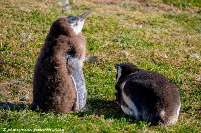 Chile Isla Magdalena pingwiny 3